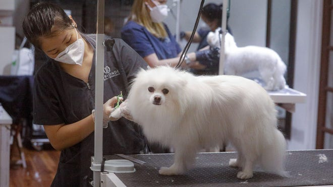 Onblonde Pet Spa and Boutique groomer Penny Drotzer wears a protective mask and gloves while grooming a Pomeranian named Rosie in April.