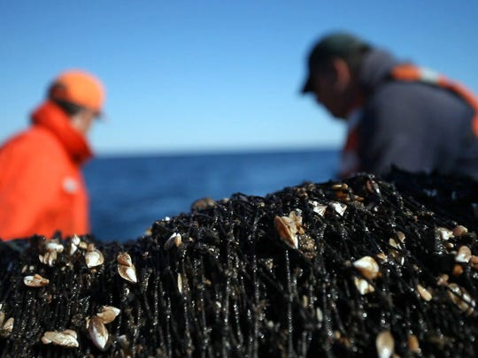 Quagga mussels are snagged in a net as it is pulled onboard the USGS research vessel Grayling on Saturday, Sept. 17, 2011.