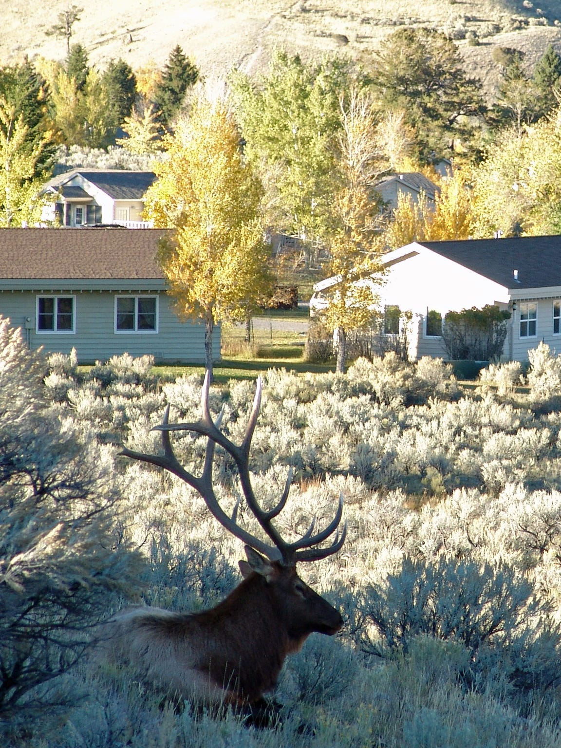 An elk rests near Mammoth Hot Springs, known for its