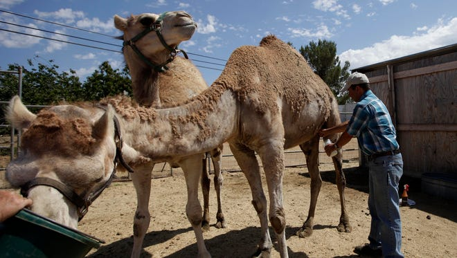 In this photo taken July 9, 2010, Gil Riegler, of Oasis Camel Dairy works quickly while milking of one of his camels in Ramona, California.
