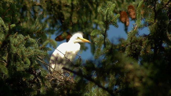 Great Egrets are now breeding in portions of Pennsylvania.