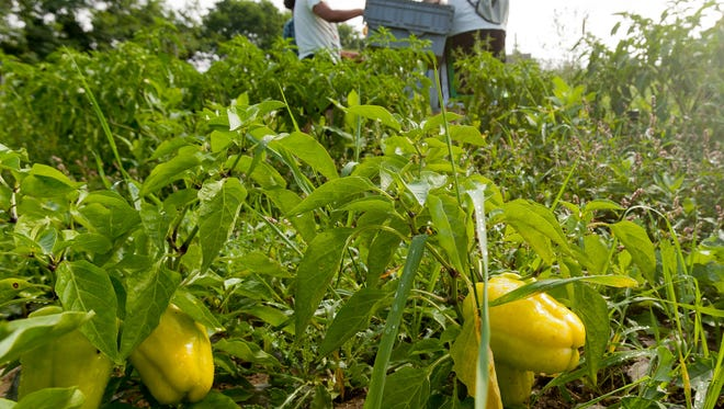 New York farmers posted record sales in 2014. One part of this year's harvest was peppers grown in August at the Youth Farm Project in Danby, shown above. SIMON WHEELER / Staff Photo