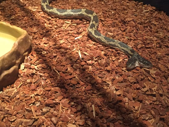 The two-headed snake has room to stretch out at the Mississippi Museum of Natural Science.