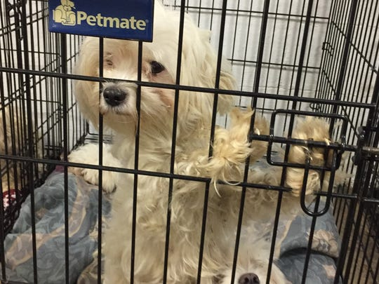 Sixty Bichon/Maltese dogs were turned over from a Binghamton home to the Broome County Humane Society and will be put up for adoption.