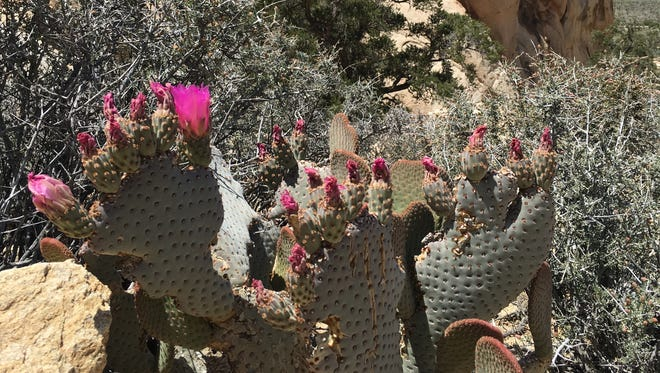 A cactus bloom is seen in Joshua Tree National Park on Monday, April 25, 2016. Officials announced Tuesday that four men have been ordered to appear in federal court for vandalizing an area of the park about two weeks ago.