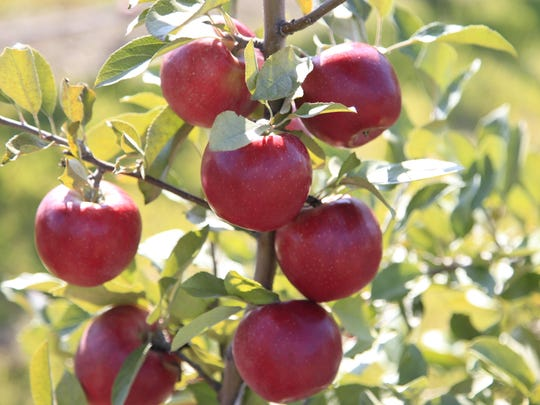 The Cornell University-developed SnapDragon apple variety.