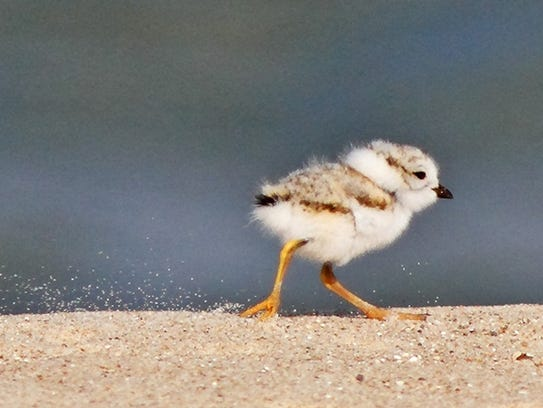 An eight-day-old piping plover chick walks along the Lake Huron shoreline on July 25, 2011, at AuSable Point in East Tawas.