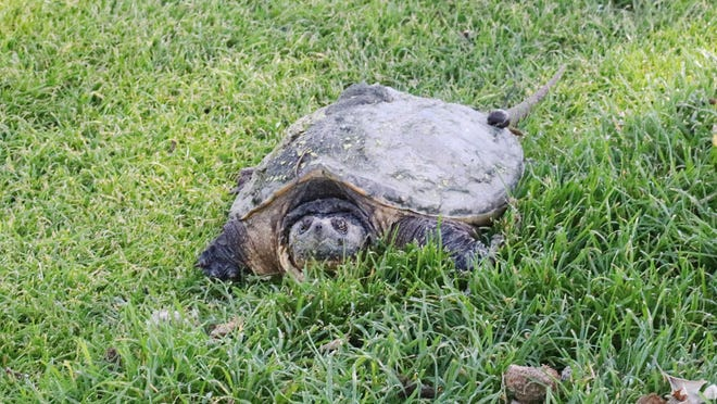 This snapping turtle is relaxing on the green at the 13th hole Wednesday afternoon. With its heavy shell, the turtle was quite protected from any flying golf balls that might have come its way.