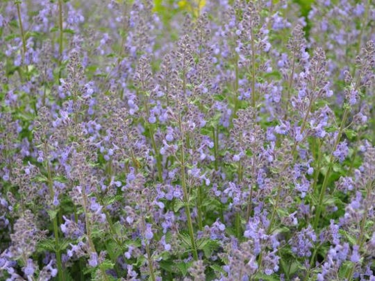 Nepeta 'Novanepjun' (Junior Walker TM Catmint) from Star Roses and Plants/ The Conard-Pyle Co. – 2013 Perennial Top Performer