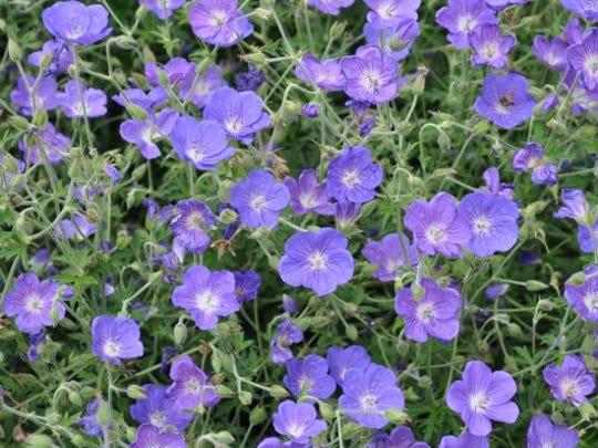 Geranium 'Eureka Blue' (Eureka Blue Cranesbill) from Blooms of Bressingham – 2013 Perennial Top Performer.