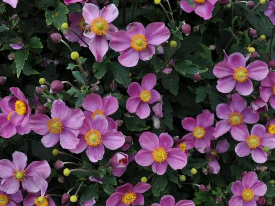 Anemone hupehensis 'Pretty Lady Diana' (Pretty Lady Diana Windflower) from Blooms of Bressingham – 2013 Perennial Top Performer.