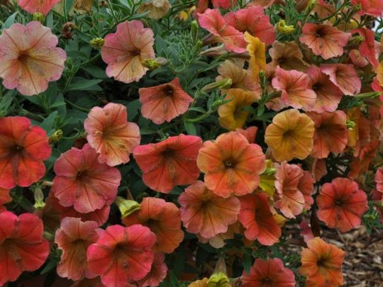Best New Variety 2013 annual – Petunia 'Cascadias Indian Summer' from Danziger.