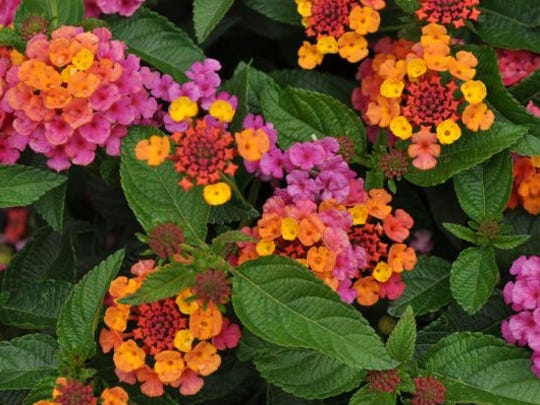 Best of Show 2013 annual – Lantana 'Lucky Sunrise Rose' from Ball Flora Plant.