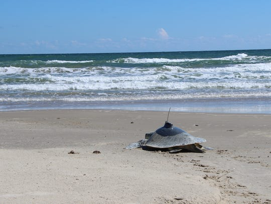 Abel, a Kemp's ridley sea turtle, was released Thursday,