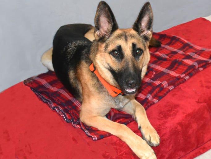 Chloe is a three-year-old German shepherd who is a
