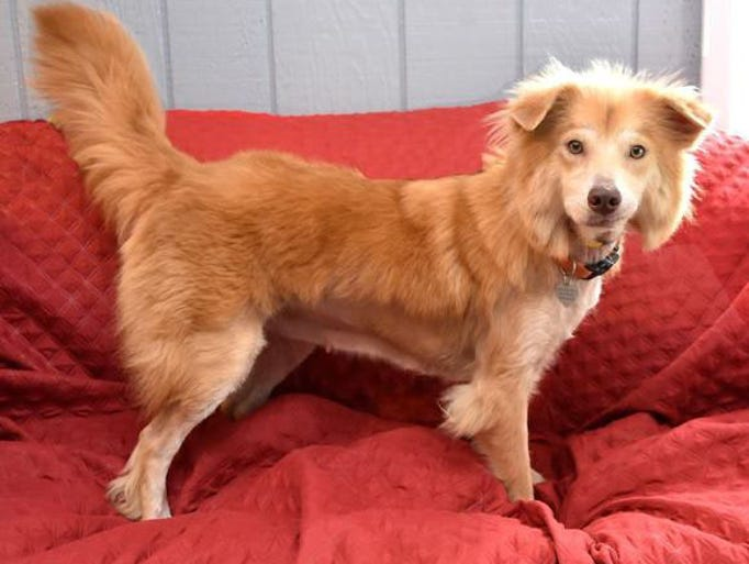 Mindy is a golden retriever mix, about three years