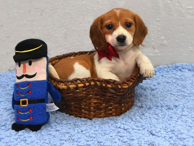 Basil is a beagle/spaniel mix, born in July, 2017.
