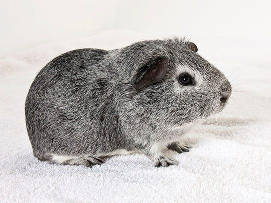 Boomer, male Guinea pig. No. 97328.