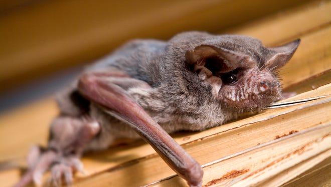 A Florida native despite its name, this is the Brazilian free-tailed bat (sp. Tadarida brasiliensis)..