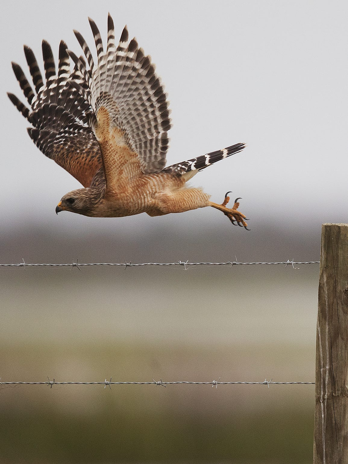 A red shouldered hawk takes flight off of a fence post