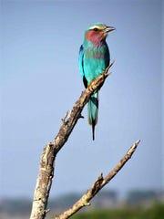 Birdlife proves to be phenomenal along the Chobe River.