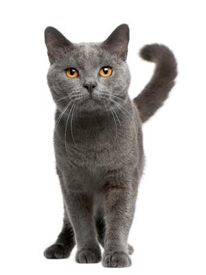 Front view of Chartreux cat, 16 months old, standing