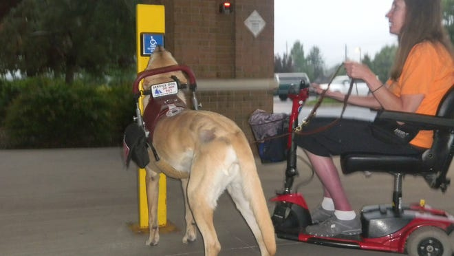 In this June 11, 2014, photo provided by Brenda Mader, Mader is out with her 7-year-old service dog, Max, in Lewisburg, Pa. Max has been with her five years, helping her keep her balance, shop at the grocery store and do laundry. Surgery gave a boost to Max, after his left knee gave out. (AP Photo/Courtesy of Brenda Mader)