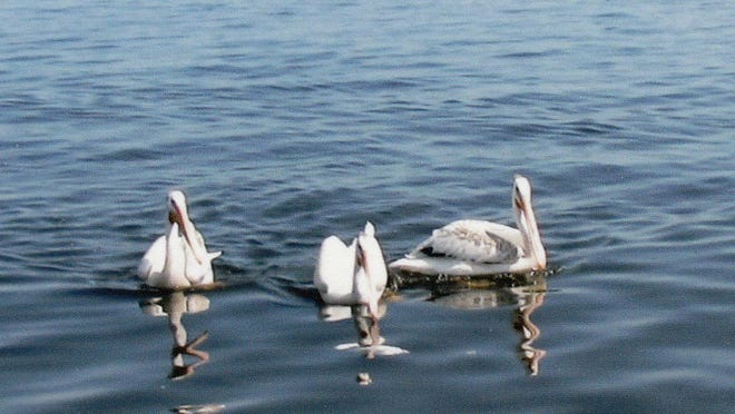 Pelicans visible this year on Lake Winnebago have left on their migration south for winter.