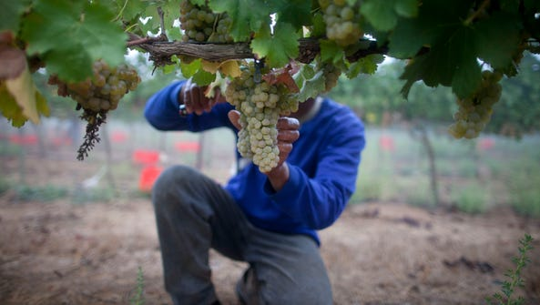 A Thai worker harvests Viognier grapes at a vineyard