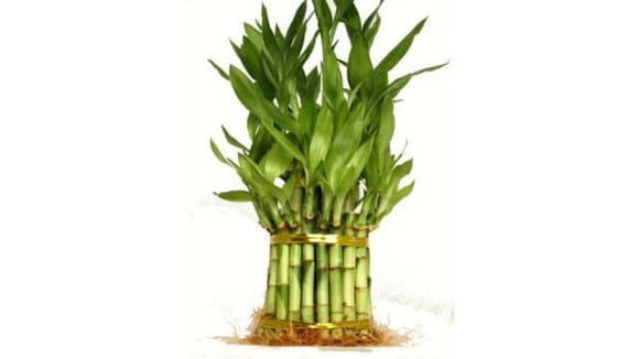 9GreenBox Lucky Bamboo