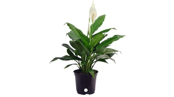 Costa Farms Peace Lily