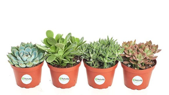 Shop Succulents Assorted Succulent