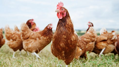 A Clay Township girls is asking the township board to revise an animal ordinance so she can have chickens.