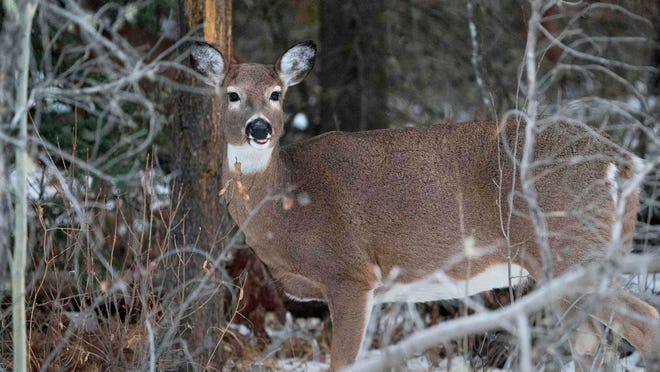 A deer hunt in Plainfield is the wrong solution, say two animal rights groups.
