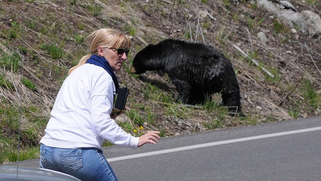 A tourist steps on to the Tower Falls road in Yellowstone National Park to shoot a photo of a mama black bear and two cubs alongside the road.