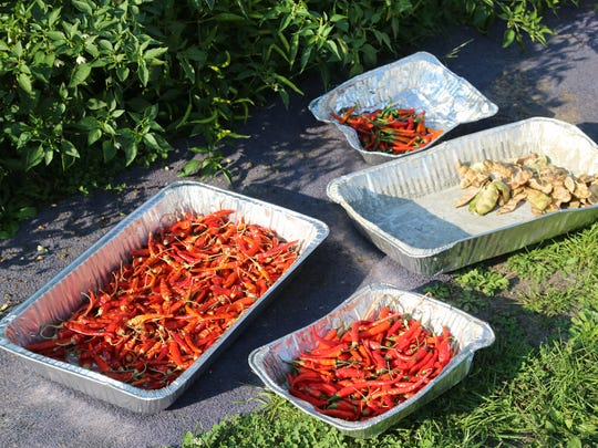 Bandhu Gardens' peppers and broad beans dry in the sun in Detroit's Banglatown neighborhood.