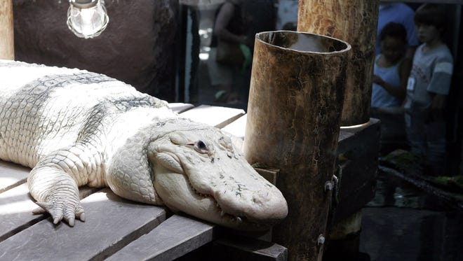 A white alligator is on display at the Audubon Aquarium of the Americas. One of the aquarium's alligators, Spots, has died.