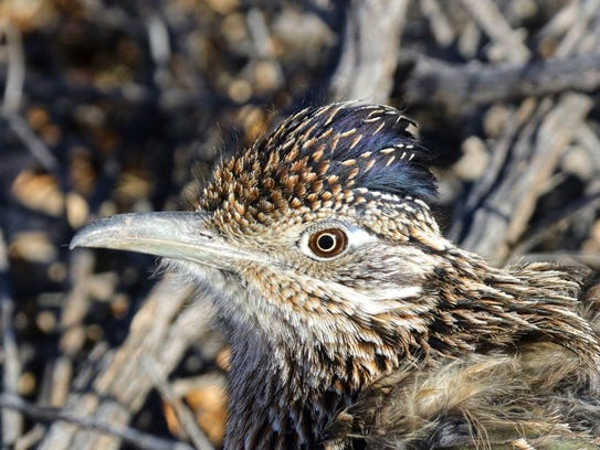 Close up and personal with a New Mexico roadrunner,