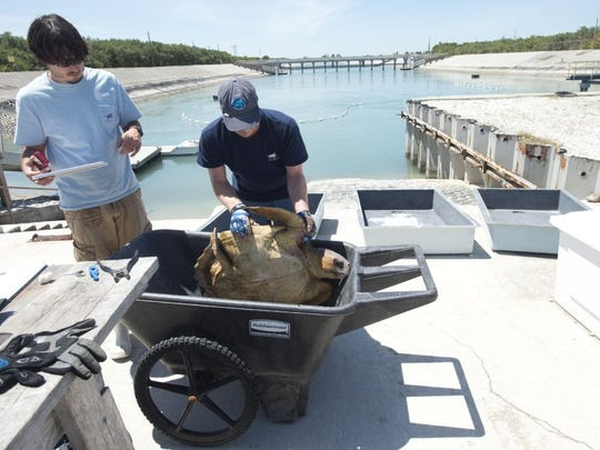 Inwater Research Group biologists Cody Mott (left) and Steve Weege complete a health assessment on a loggerhead turtle that was sucked into an intake pipe on April 8 at the Florida Power & Light St. Lucie Plant on Hutchinson Island near Fort Pierce. Mott and Wegee removed the turtle from the canal pictured behind them. In addition to turtles, biologists have also rescued nurse sharks, grouper, sting rays and more. 'The most attention is given to sea turtles,' said Weege, because of their designation as endangered.