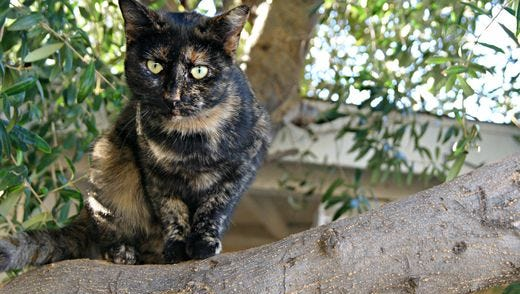 Feral cats are not a new problem in the Valley. This one watched from a tree last year as volunteers trapped other cats in Glendale.