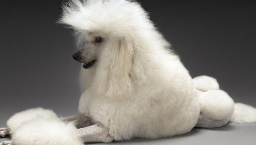 A poodle.