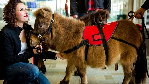 Wendy and Harley, miniature therapy horses, greet flyers at the arrivals gate at Cincinnati/Northern Kentucky International Airport.