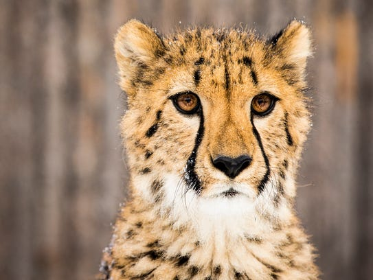 Donni the cheetah cub experiences snow for the first