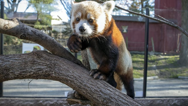 This Nov. 22, 2016, photo provided by the Elmwood Park Zoo shows a red panda named Shredder at the zoo in Norristown, Pa. The suburban Philadelphia zoo says the 2-year-old male died Wednesday, Jan. 4, 2017, and a necropsy found signs of heart disease. The species is listed as endangered, with fewer than 10,000 red pandas living in the wild. (Betsy Manning/Elmwood Park Zoo via AP)