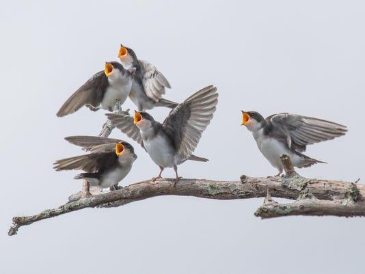FoBBPhotoContest2015-DougMoon-Tree Swallow Quintet