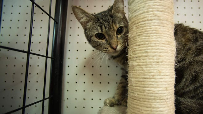 A cat that is available for adoption is seen at Animal Care Alliance's facility at 4101 National Road West on Tuesday, Feb. 14, 2017.