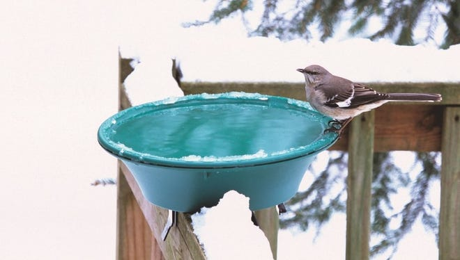 A northern mockingbird braves the snow for a drink of water.