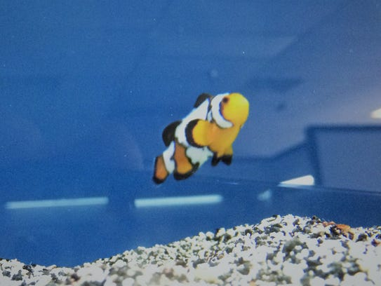 This Black Ice Ocellaris Clownfish is similar to the