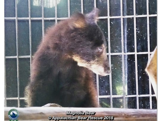 Magnolia, a Louisiana black bear, is on the mend at the Appalachian Bear Rescue Center in Tennessee.