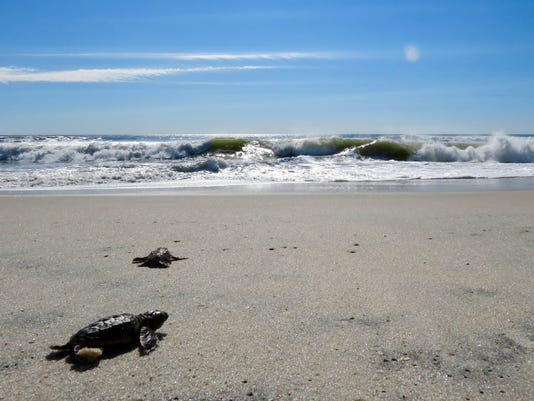 636425263012410577-2-hatclings-into-ocean.jpg